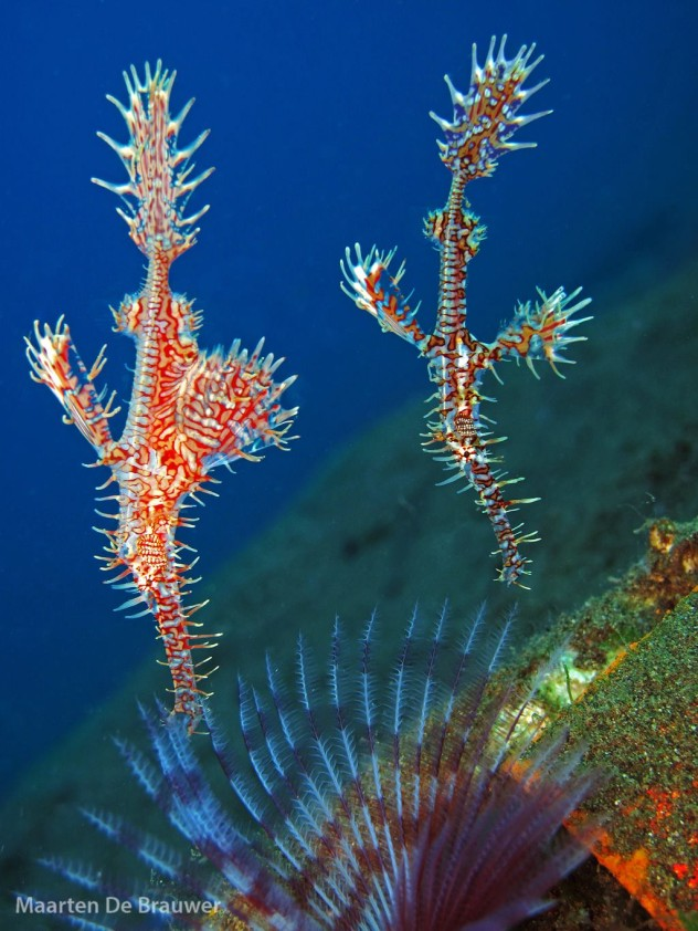 Two Ornate Ghostpipefish. Photo by Maarten de Brauwer.