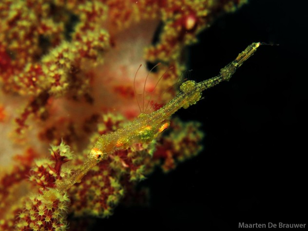 Juvenile Ghostpipefish. Photo by Maarten de Brauwer.