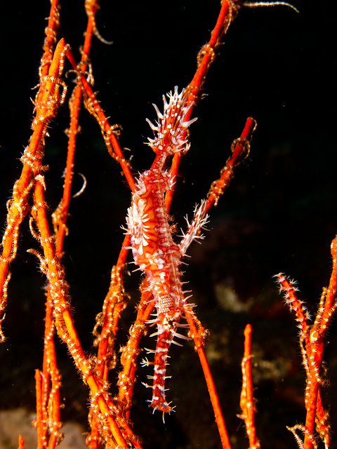 A camouflaged Ornate Ghostpipefish. Source.