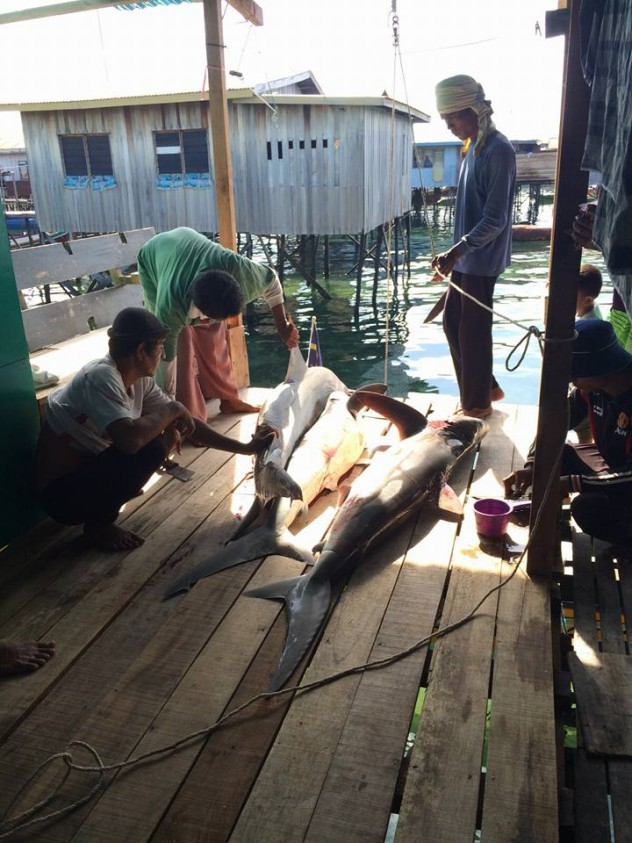 Sharks landed on Mabul